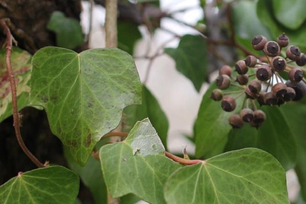 キヅタの実と葉の写真