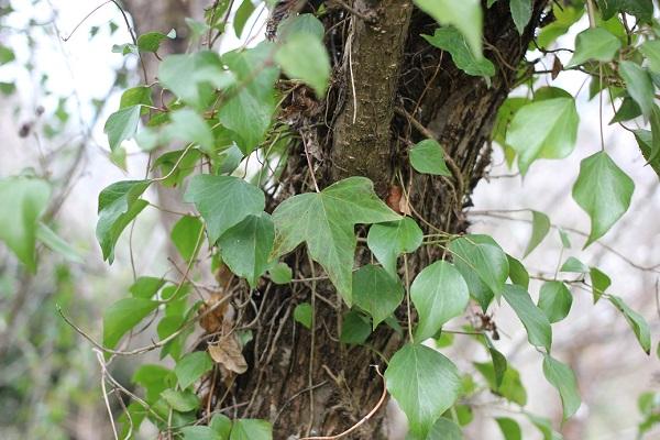 キヅタの茎と葉、掌状に3~5裂する葉を付けてるものと菱状卵形の葉の写真