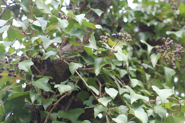 木に絡まって栄えて実を付けてるキヅタの写真