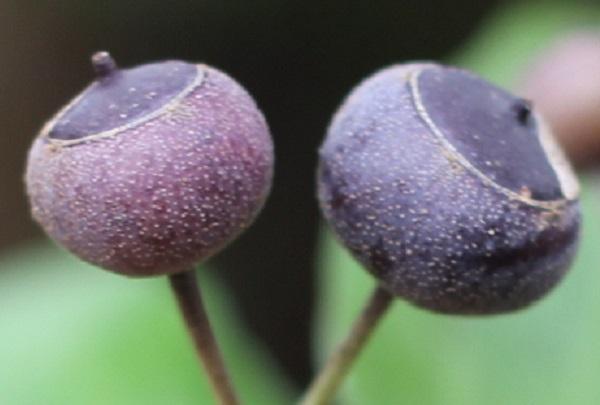 紫色のキヅタの実のアップ写真
