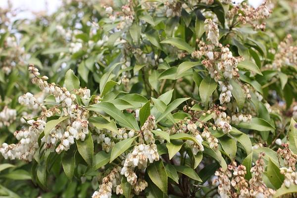 鈴なりに花をたくさんつけてつアセビの様子の写真