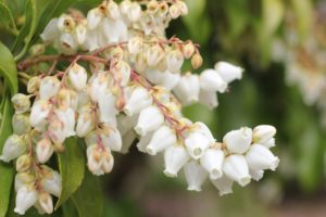 白いアセビ(馬酔木)の花の写真