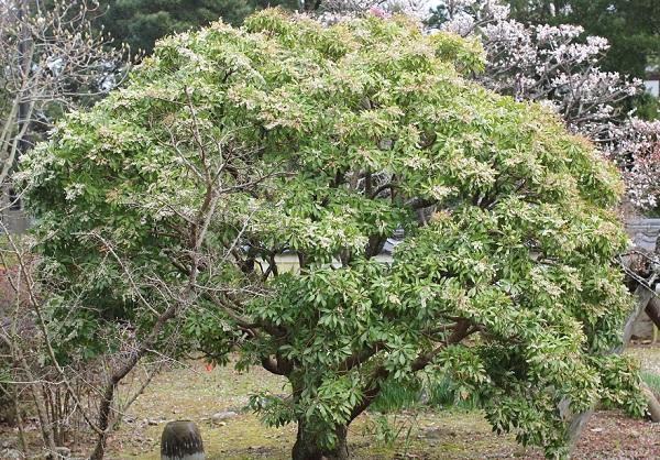 大きなアセビの木に花が咲いてる様子の写真
