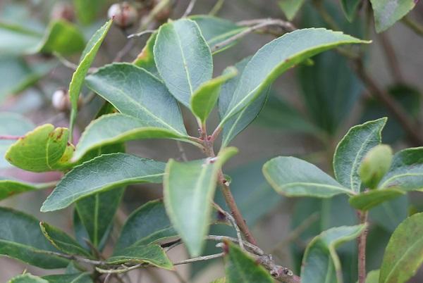 アセビの葉の写真