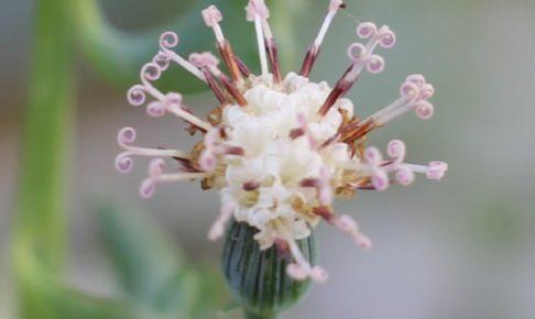 ドルフィンネックレスの花のアップ写真