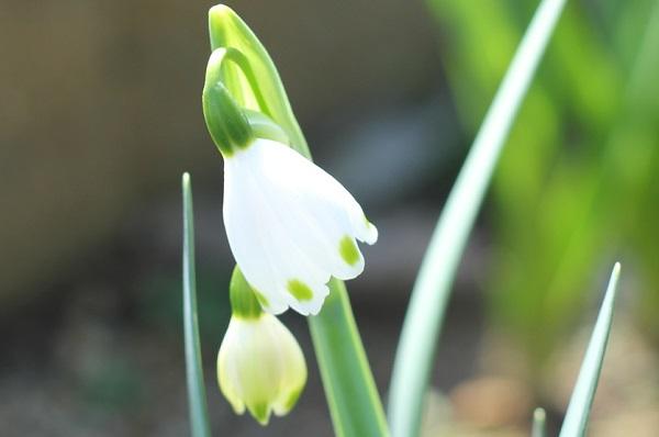 スズランの花のアップ写真