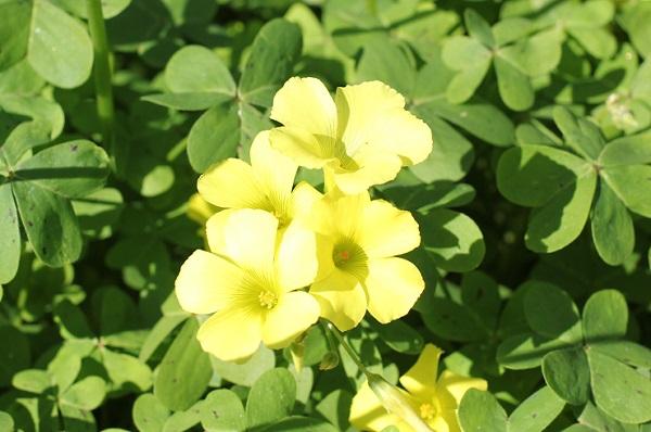 オオキバナカタバミ(大黄花片喰)のアップ写真