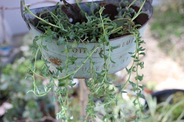 ビワの木に鉢を下げて育ててるドルフィンネックレスの写真
