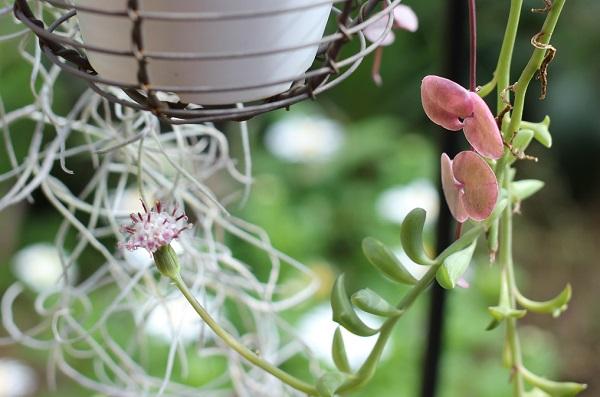 挿し木で育ててるハートカズラとドルフィンネックレスの写真