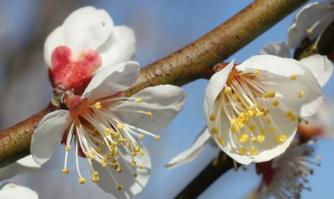 夢たちばな観梅会で見た美しい白梅のアップ写真