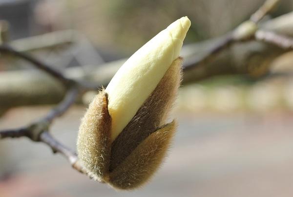 ハクモクレンの蕾の写真