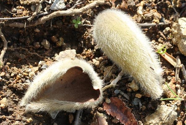 ハクモクレンのが鱗片葉が地面に落ちてる写真
