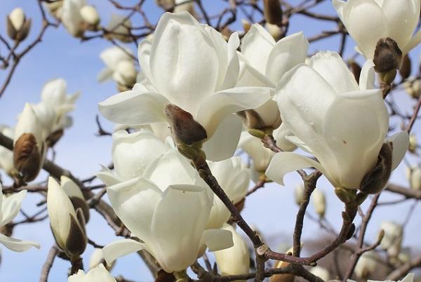 ハクモクレンが咲いてる様子の写真
