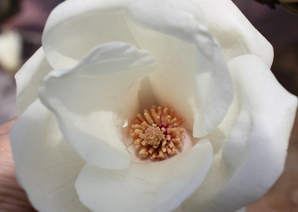 ハクモクレンの花、上から見た様子の写真