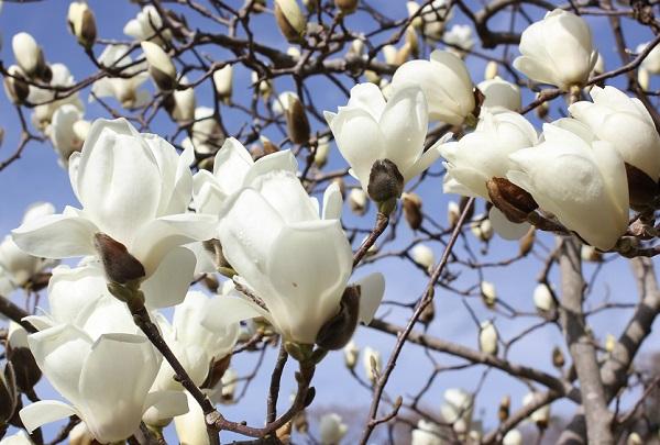 木蓮 の 花