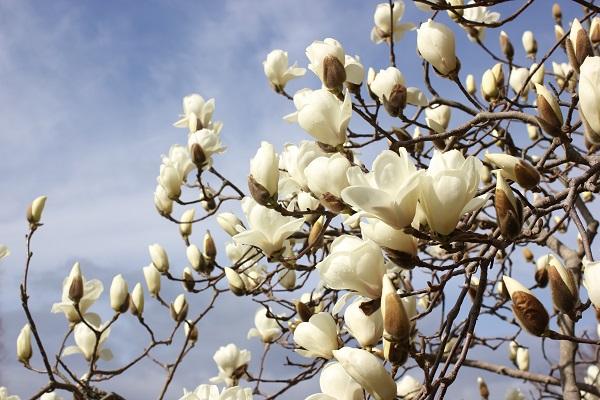 ハクモクレンが美しく咲いてる様子の写真