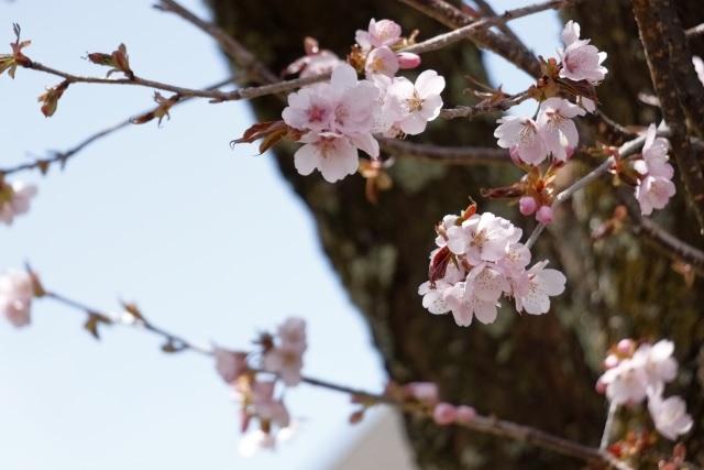 コヒガン桜の写真