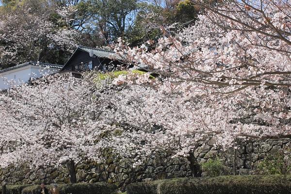 4月の始め、咲き乱れるソメイヨシノの写真