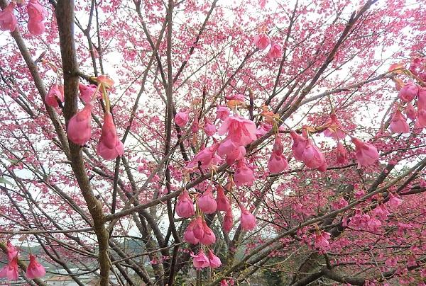 うつむき加減の花と緋寒桜の木の写真