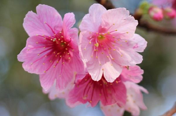 ピンク色の寒緋桜の花の写真 アップ