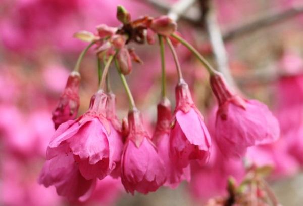 緋寒桜の花のアップ写真