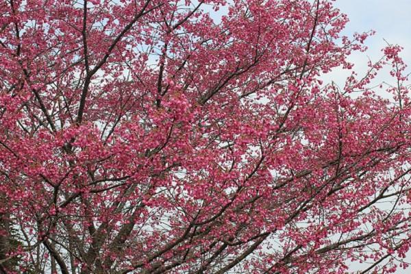 大きな緋寒桜の木、花が満開の様子の写真