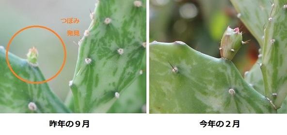 ヒメサンゴの蕾の比較写真(昨年の9月と今年の2月)