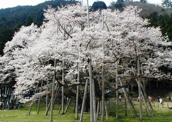 淡墨桜(うすずみざくら)の写真