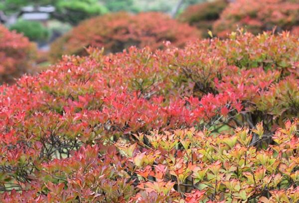 ドウダンツツジの葉の紅葉の写真(グラデーション)