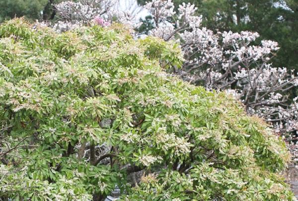 花が咲いてるアセビの大きな木の写真