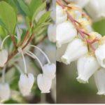 ドウダンツツジの花とアセビの花の比較写真