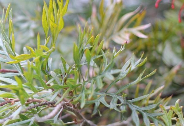 グレビレア・ロビンゴードンの葉の写真