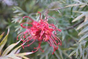 グレビレアの花の写真