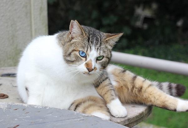 オッドアイのネコが横たわってる写真