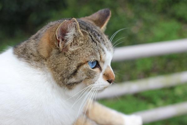 オッドアイの野良猫の横顔の写真
