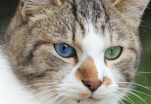 青と緑の目を持つオッドアイのネコ、アップ写真