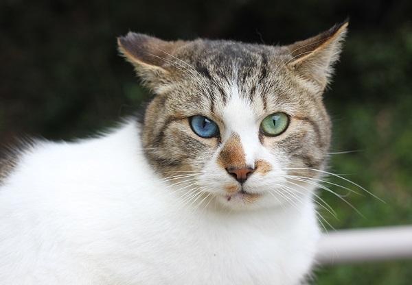 オッドアイの野良猫のアップ写真