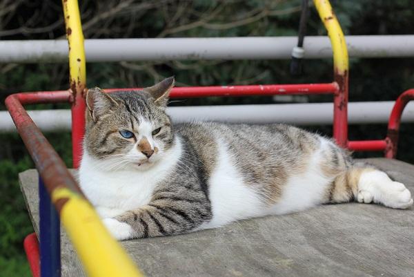 横たわってるオッドアイの野良猫の写真