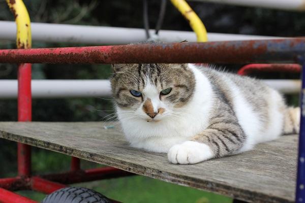 手を出してきたオッドアイの野良猫の写真