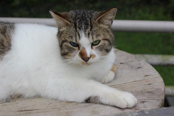 くつろいでるオッドアイの野良猫の写真