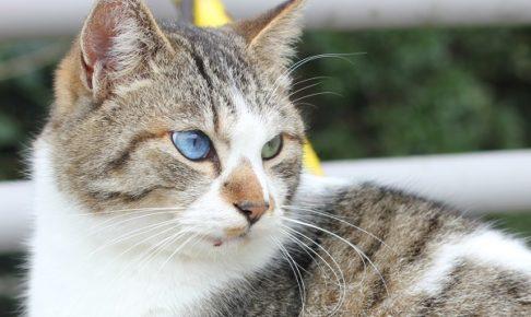 オッドアイの野良猫の写真