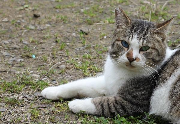 振りむいて見つめてくれたオッドアイの野良猫の写真