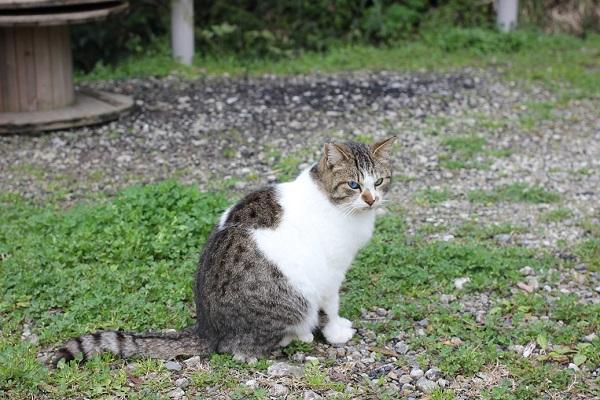 野原で座ってるオッドアイの野良猫の写真