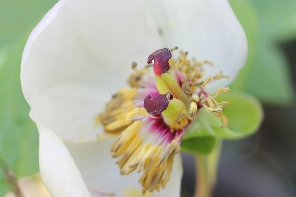 ヤマシャクヤクの花の中の様子の写真