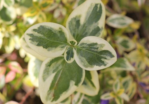 フクリンツルニチニチソウの葉の写真