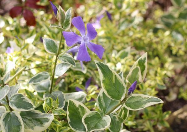 寄せ植えで使われてたツルニチニチソウ(蔓日々草)、斑入りの写真
