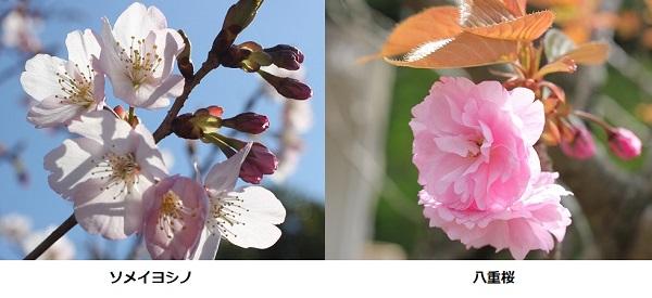 ソメイヨシノと八重桜の比較写真