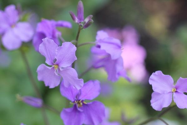 オオアラセイトウの花の写真