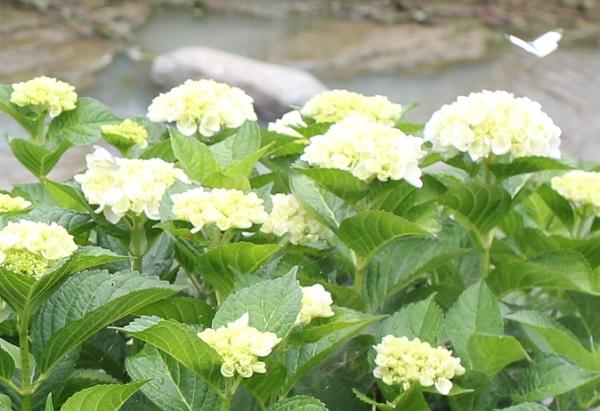 白い紫陽花の花の写真