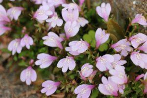 サギゴケの花の写真
